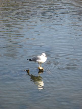 seagull, Fair Oaks, Fair Oaks Bridge, mornings, American River, boat launch ramp