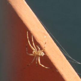 spider, spider web, Fair Oaks Bridge, American River, monrings,