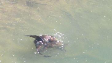 river otters, American River, Fair Oaks, Fair Oaks Bridge, water, mornings, wildlife, nature