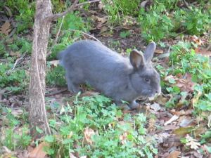 rabbit, Fair Oaks Bridge, mornings