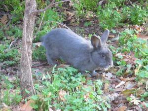 rabbit, Fair Oaks Bridge, mornings