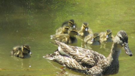 ducks, ducklings, Mallard, American River, Canada Geese, food, eat, swim, water, river, guard, babies, peep, observe, nature, writing, outdoors