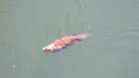 river otter, American River, Fair Oaks, Fair Oaks Bridge, water, swim, mornings, write, nature, outdoors