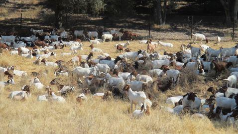 goats, Fair Oaks Bridge, Bannister Park, American River