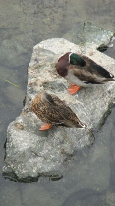 ducks, sleeping, mornings, Fair Oaks, American River, jim's bridge