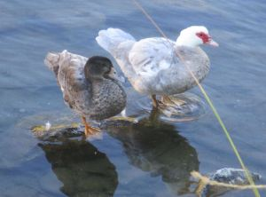 Muscovy duck, Mallard, ducks, standing on rock, American River, Fair Oaks Bridge, mornings, nature, outdoors, writing,