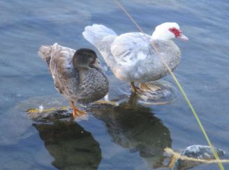 Muscovy duck, Mallard, ducks, standing on rock, American River, Fair Oaks Bridge, mornings, nature, outdoors, writing,