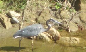 Great Blue Heron, patrol, American River, Fair Oaks Bridge