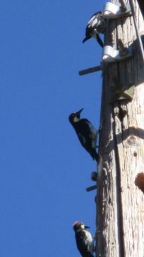 woodpecker, telephone pole,