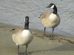 Canada geese, boat launch ramp, American River, Fair Oaks Bluff