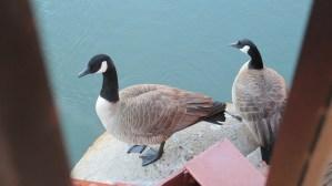Canada Geese, Fair Oaks Bridge, pier, American River, mornings, nature, outdoors, beauty,