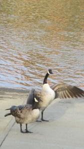 Canada Geese, ducks, guard, boat launch ramp, American River, fishermen, eat, boat, battle, squabble