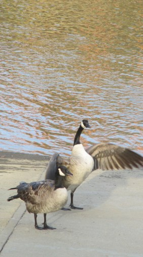 Canada Geese, ducks, guard, boat launch ramp, American River, fishermen, eat, boat, battle, squabble