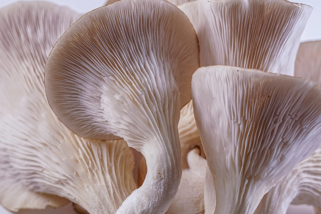 Canadian Oyster Mushrooms