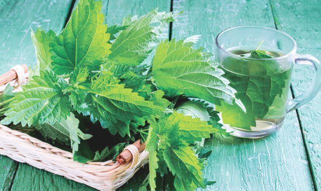 Nettle: benefits during the last trimester of pregnancy ...