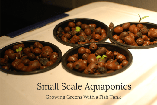 Small Scale Aquaponics Growing Greens With a Fish Tank