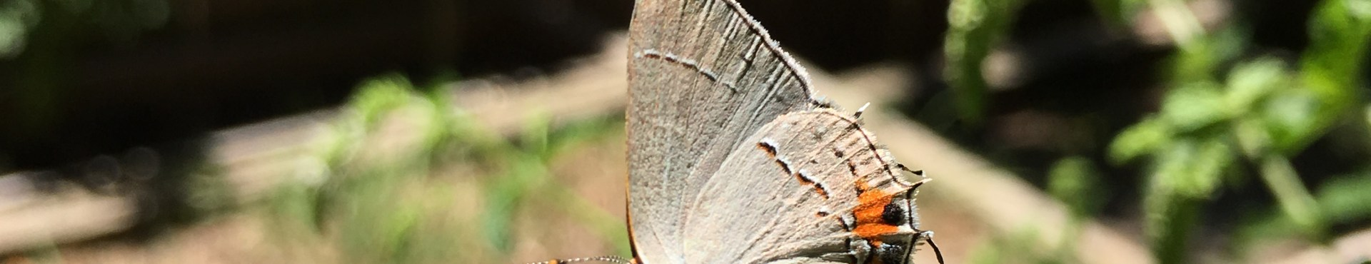 The Hairstreak Butterfly Mystery