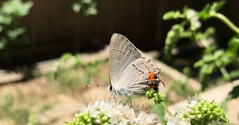 The Mysterious Hairstreak Butterfly and Black Swallowtail Caterpillar