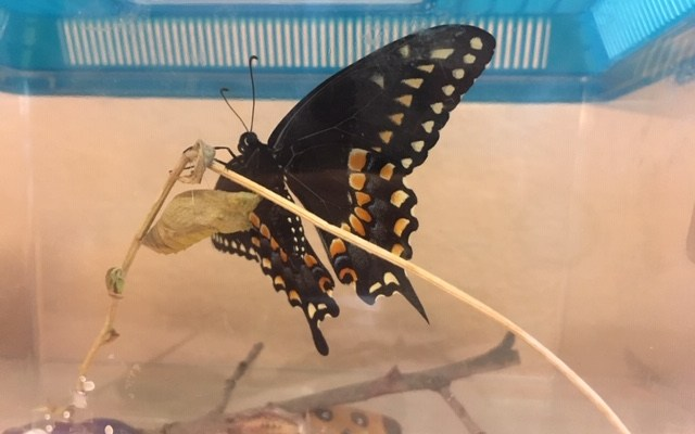 Our First Black Swallowtail Butterfly Emerges and Takes Flight