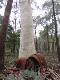 Candlebark trunk