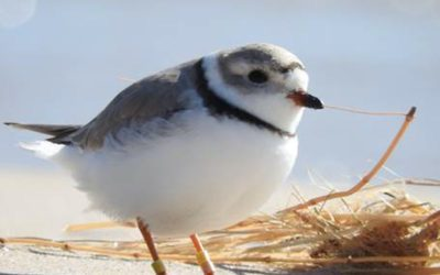 Comm-0516-Piping-Plover-at-FCD-2-J.-Henemyer-1
