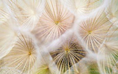 dandelion-up-close-unsplash