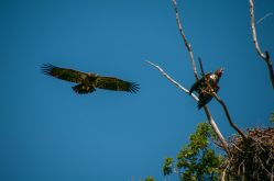 Juvenile bald eagles at Ottawa Sands