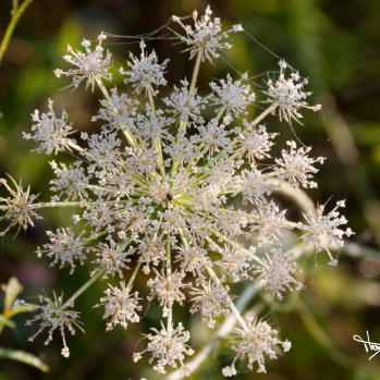 Queen Anne's Lace, Saul Lake Bog by Thomas Hegewald