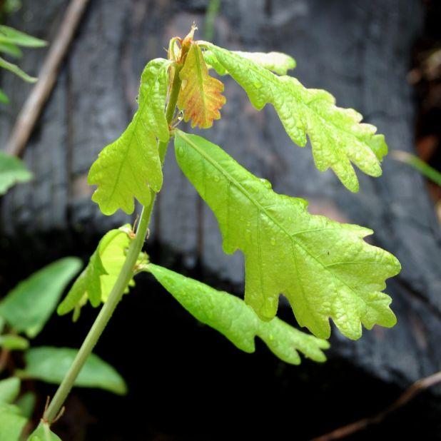 White oak sapling