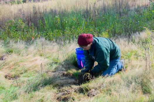 Theresa plants a white pine at The Highlands.