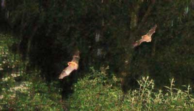 Two bats in Cumbria
