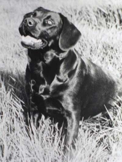 Winnie: gamekeeper-trained gundog c. 1971
