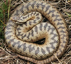 An adder (photo: Hammond Eggs)