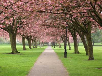Cherry blossom © Xerones