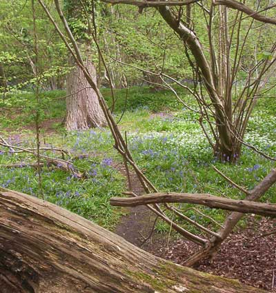 Coppiced ancient woodland, Centurion's Copse, Isle of Wight