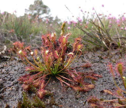 Drosera intermedia (oblong-leaved sundew)