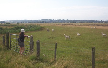 Fence, sheep and Cat