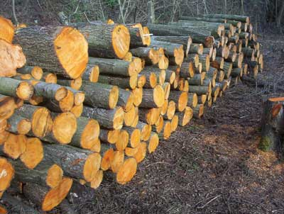 Alder logs cut in a woodland