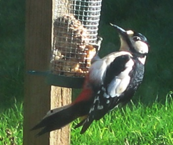 Great spotted woodpecker (c) Ruth D'Alessandro