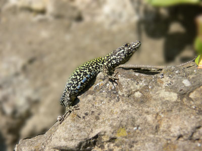 Podarcis muralis, Ventnor (c) Cat James