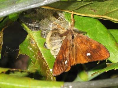 Mating vapourer moths
