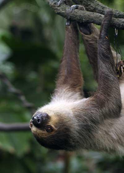 Sloth © 僕はカメラマンである