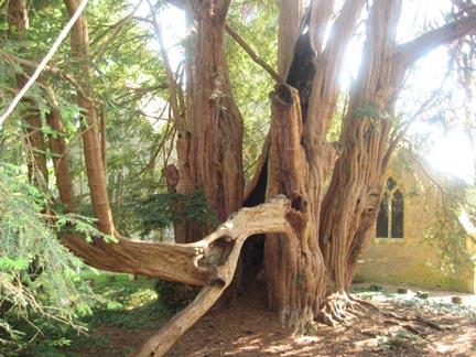 Tandridge yew