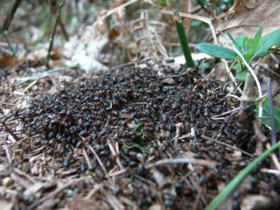 Wood ants basking in the sun (c) Cat James