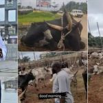 Obi Cubana: Top Anambra Business Mogul, Receives 346 Cows For Mother's Burial