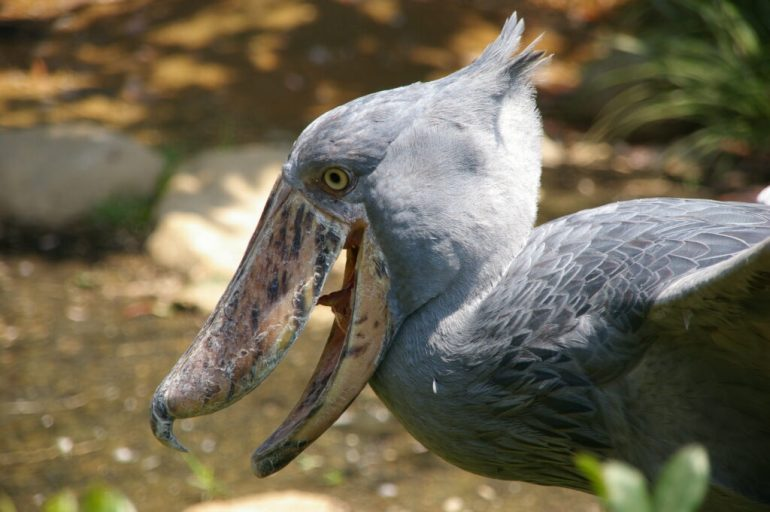 Early Arab traders that encountered the shoebill in the marshlands of the Upper Nile called it abu markub, meaning 'father of the slipper.' Apparently, this bird just cannot escape shoe imagery. Via Nature Nook