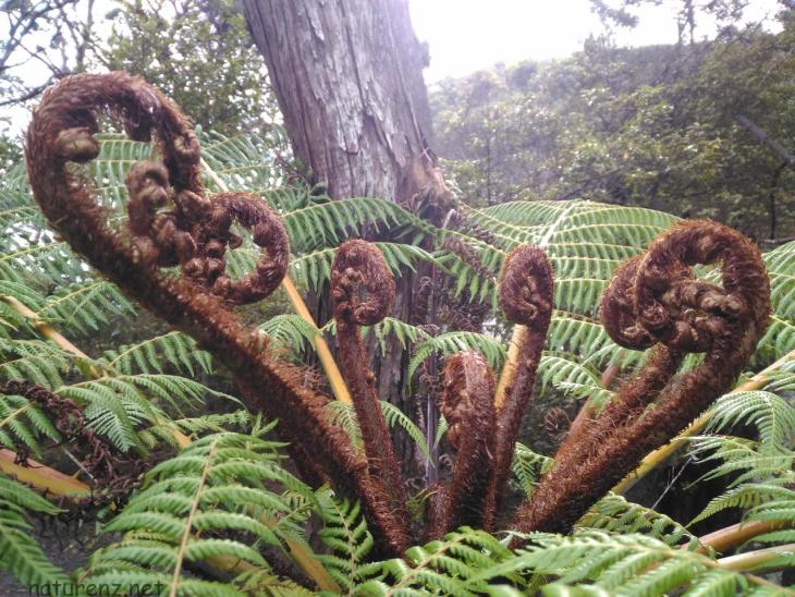 NZの象徴と扱われるシダ「シルバーファーン」の見事な生命力