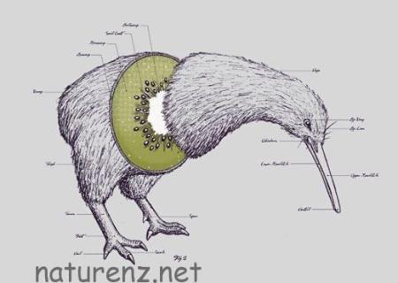 国鳥キーウィの名の由来。キーウィフルーツに似てる vs 鳴き声!?