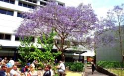 ニュージーランドの夏に咲く、青色の花が満開の木の名前は?