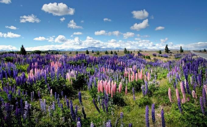 美しいルピナスの花が駆除の対象!?NZでルピナスが嫌われている理由とは。 | NATURE ニュージーランド